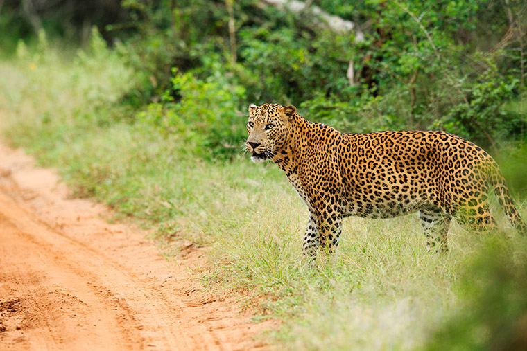 Safari in Yala's National Park is a wild and unspoilt area