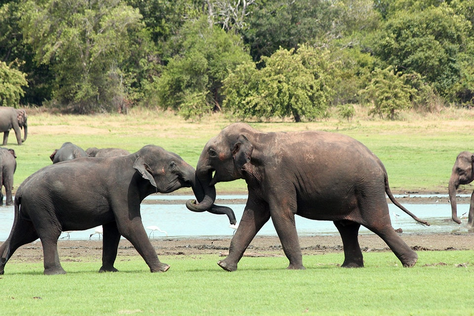 Encountering the elephant gathering at Minneriya Lake is like no other experience